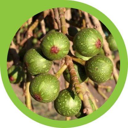 Broom Cluster Fig