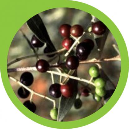 wild olive tree - gift shop - precious tree project npo
