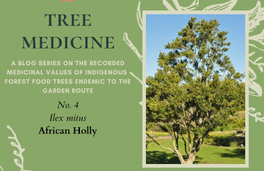Tree Medicines of the Garden Route - African Holly_Cape Holly - Precious Tree Project