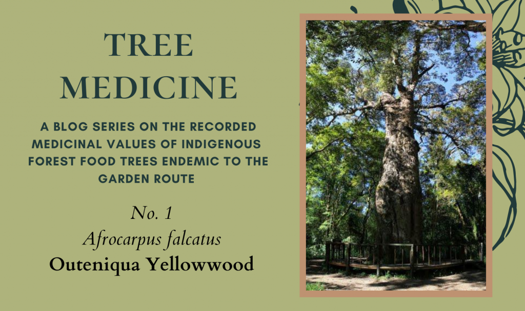 Tree Medicines of the Garden Route: Outeniqua Yellowwood