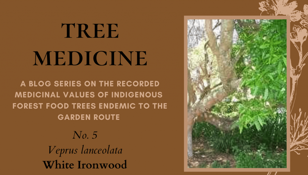 Tree Medicines of the Garden Route: White Ironwood