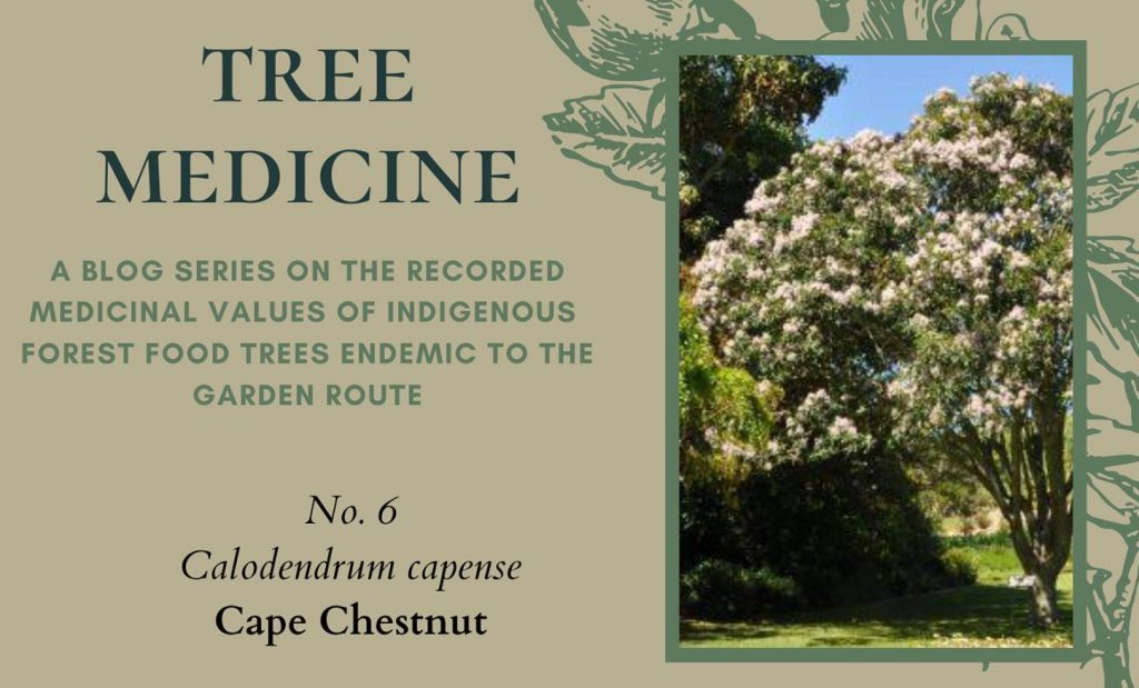 Tree Medicines of the Garden Route: Cape Chestnut