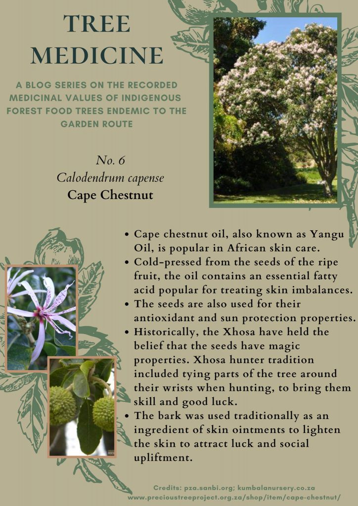 TREE MEDICINES OF THE GARDEN ROUTE – Cape Chestnut - Precious Tree Project NPO