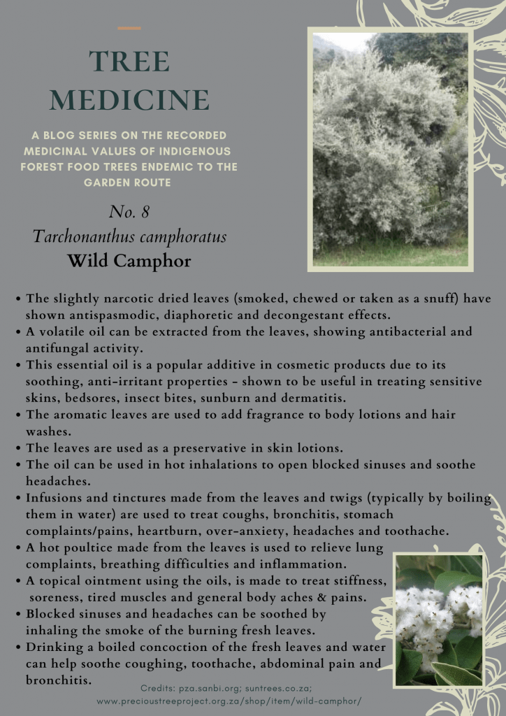 Tree Medicines of the Garden Route - Camphor Bush - Precious Tree Project NPO