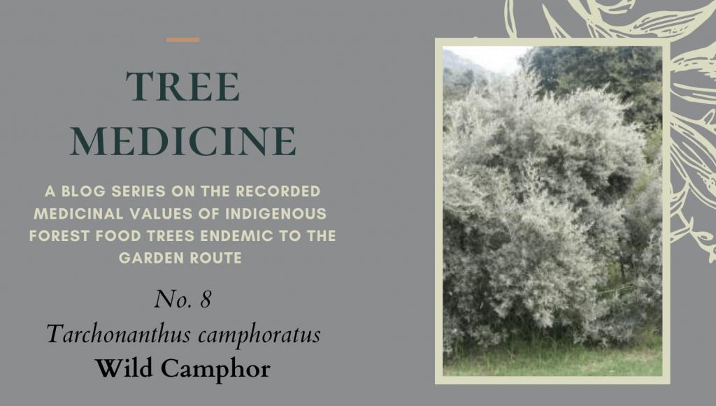 Tree Medicines of the Garden Route - Camphor Bush - Precious Tree Project NPO