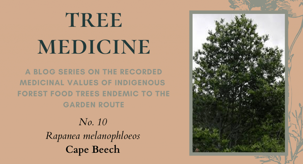 Tree Medicines of the Garden Route: Cape Beech