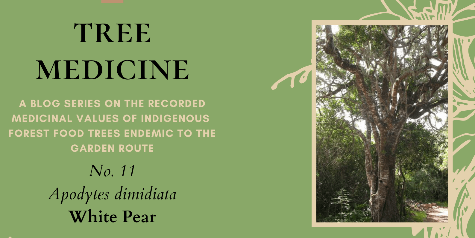Tree Medicines of the Garden Route - White Pear - Precious Tree Project NPO