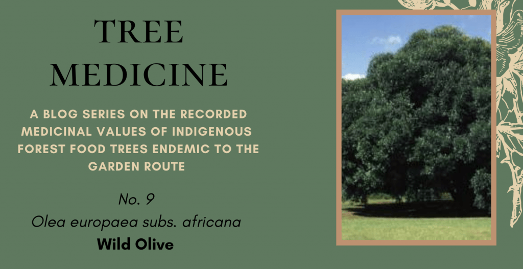 Tree Medicines of the Garden Route: Wild Olive