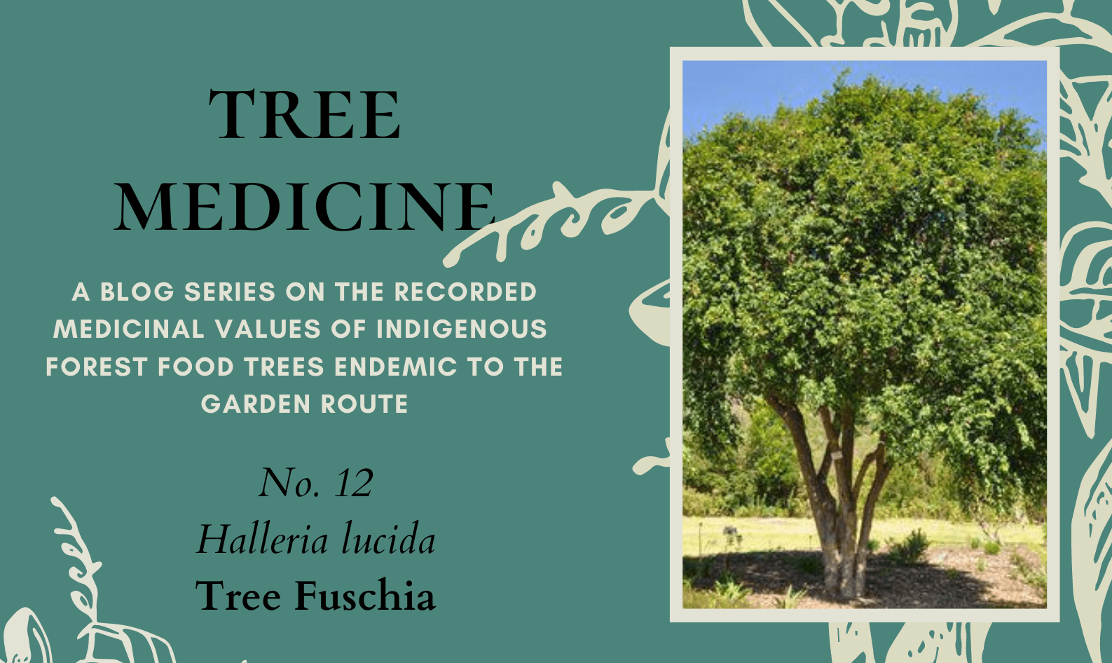 Tree Medicines of the Garden Route - Tree Fuchsia - Precious Tree Project