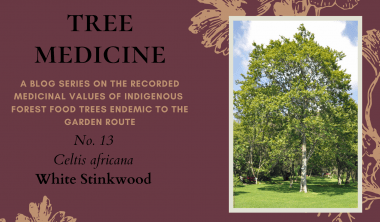 Tree Medicines of the Garden Route - White Stinkwood - Precious Tree Project